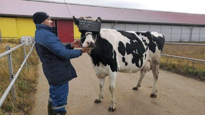 Des vaches plus sereines grâce à la réalité virtuelle