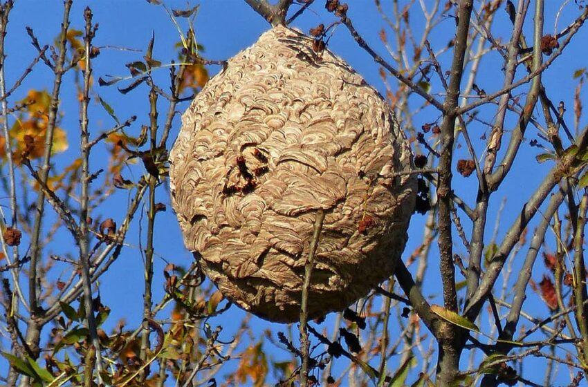 Un premier nid de frelons asiatiques neutralisé dans l'Etat de Washington