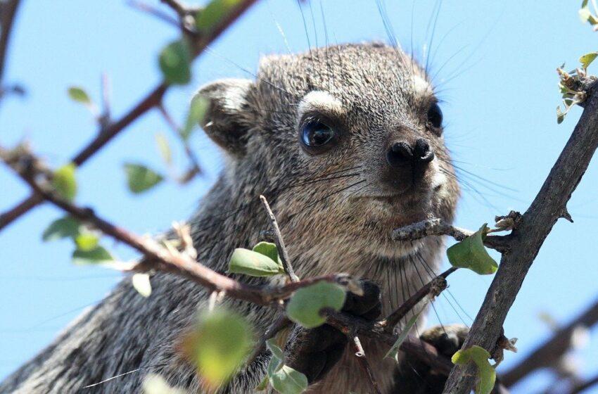 Une nouvelle espèce de mammifère nocturne probablement découverte au Kenya