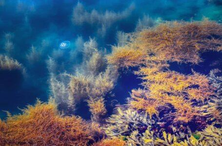 Diversifier l'alimentation des bovins avec des algues pour réduire les rejets de gaz à effet de serre