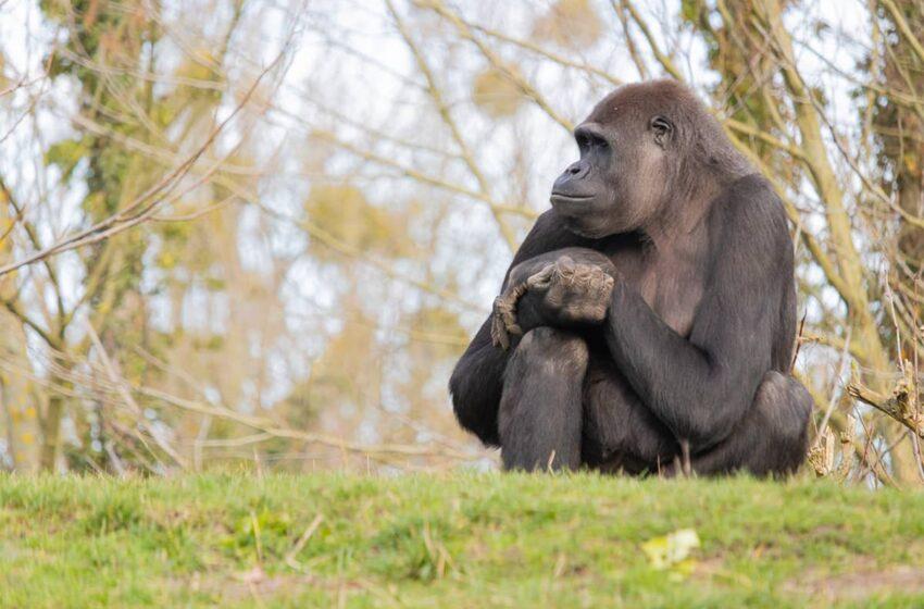 Les grands singes africains menacés
